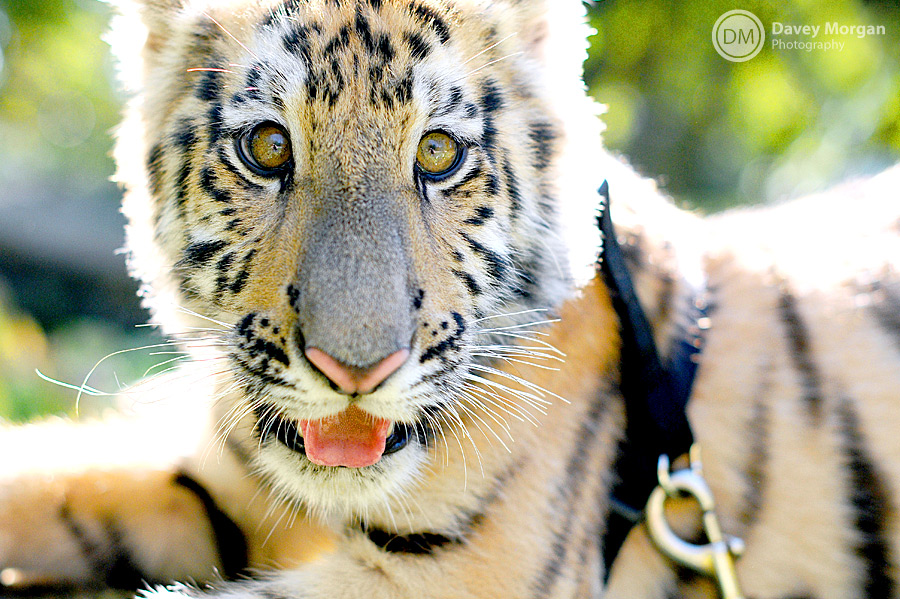 Baby Tiger Pictures | Davey Morgan Photography