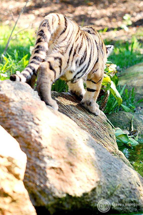 Tiger photos, siberian tiger in zoo | Davey Morgan Photography