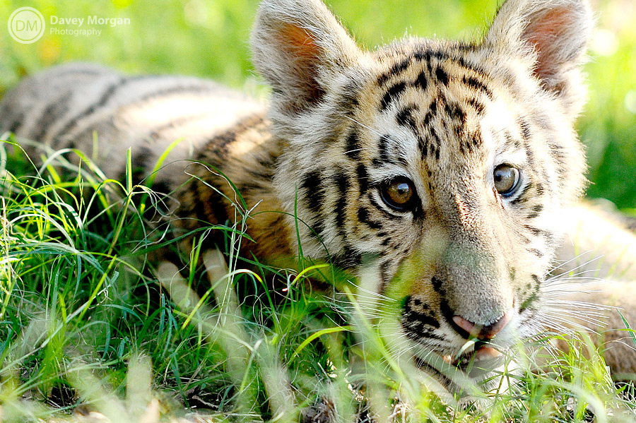 Pictures of baby tigers | Davey Morgan Photography