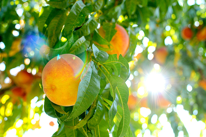 Peach Farm | Strawberry Hill USA | Davey Morgan Photography