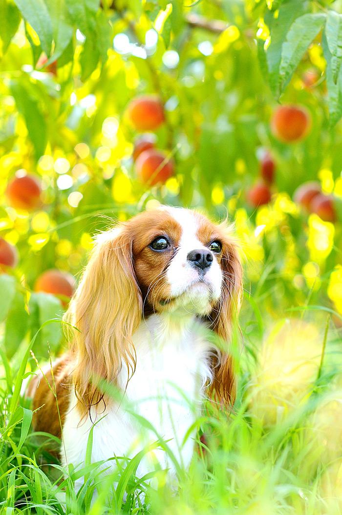Dog on Peach Farm   Davey Morgan Photography